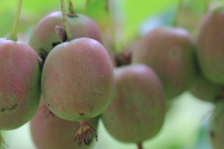About Our Kiwi Vineyard