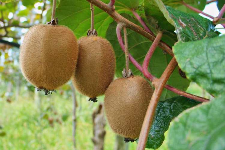 Growing kiwi fruit at Kiwi Cove Lodge in Ladysmith, BC